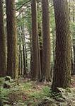Old Growth Hemlocks, Dunbar Brook Area, Monroe State Forest,  Monroe, MA