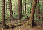 Old Growth Hemlocks, Mohawk Trail State Forest, Savoy, MA