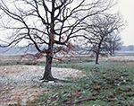 Oaks in Pasture with Dusting of Snow, Faulkner County near Mt. Vernon, AR