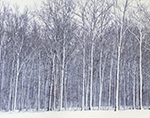 Winter White - Woodlands During Rare Snowstorm, Pulaski County near Cabot, AR
