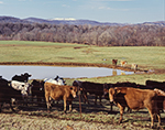 Curious Cattle at Fence with Pond, Pasture and Snow-covered Hill in Background, Madison County, Kingston, AR