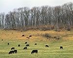 Cattle on Hillside, Draper Valley, Pulaski County, VA