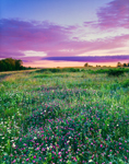 Field of Red Clover and Daisies at Sunrise, Lake Wampanoag Wildlife Sanctuary, Gardner, MA