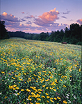 Early Morning Field of Wildflowers, Royalston, MA