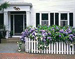 Edgartown Home, White Picket Fence and Hydrangea,  Martha's Vineyard, MA