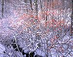Winterberry and Snow, Phillipston, MA