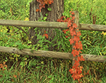 Virginia Creeper on Fence and Old Hickory Tree in Fall, Kent, CT