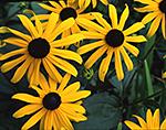 Black-eyed Susans, Fitchburg, MA