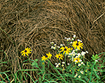 Black-eyed Susans and Fleabane against Hay Bale, Athol, MA