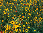Field of Summer Wildflowers, Petersham, MA