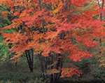 Red Maples in Fall Color, South Royalston, MA
