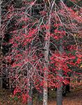 Red Maple, Oakham, MA