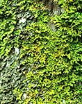 Lichens on Old Red Maple Trunk, Thuja Gardens, Mt. Desert Island, ME