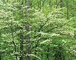Dogwoods at Cades Cove, Great Smoky Mountains National Park, TN