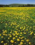 Field of Dandelions, Hunt's Farm, Orange, MA