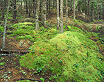 Moss-covered Forest Floor, Baker Island, Acadia National Park, ME
