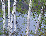 Birches in Spring, Hinsdale, NH