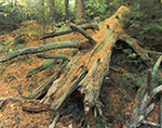 Fallen Pine, Winchendon, MA