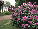 Rhododendron at Bullard Farm, New Salem, MA