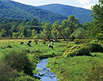Dairy Cows (Holsteins) Grazing in Southern Vermont Farm Country, Pownal, Vermont