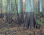 Bald Cypress Swamp with High Water Mark, St. Francis National Forest, AR