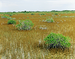 Red Mangroves and Spike Rush, Everglades National Park, FL