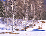 Birches and Snow, Taconics Region, Copake, NY