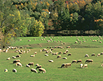 Sheep in Pasture along Connecticut River in Early Fall, Riverview Farm, Putney, VT