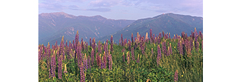 Lupines, Mt. Lafayette and Cannon Mountain, White Mountains, Sugar Hill, NH