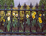Daffodils in Full Bloom Peeking through Wrought Iron Fence, Daffodil Festival, Nantucket Island