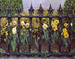 Daffodils in Full Bloom Peeking through Wrought Iron Fence, Daffodil Festival, Nantucket Island