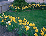 Daffodils as Garden Border, Daffodil Festival, Nantucket Island