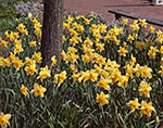 Daffodils in Full Bloom, Daffodil Festival, Nantucket Island