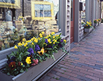 Window Boxes with Spring Flowers, Downtown Storefronts, Daffodil Festival, Nantucket Island