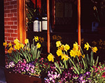 Storefront Window with Wine and Window Box of Daffodils and Pansies, Daffodil Festival, Nantucket Island