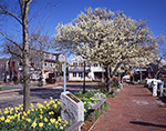 Springtime Scene along Waterfront/New Whale Street with Daffodils and Trees in Bloom, Daffodil Festival, Nantucket Island