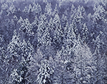 Snow-covered Hemlocks on Hillside, Berkshire Mountains