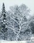 """White-on-White"", White Birch Trees after Snowstorm, Berkshire Mountains, Savoy, MA"