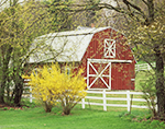 Red Barn with White Trim, White Fence and Forsythia in Bloom in Spring