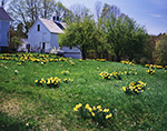 Naturalized Daffodils and White Barn with Cupola in Spring, New Salem Common Historic District