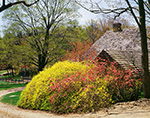 Forsythia and Quince in Spring Bloom next to Barn with Cedar-shingled Roof, New Salem Common Historic District