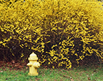 Yellow Fire Hydrant and Forsythia in Spring