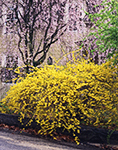 Forsythia and Flowering Tree in Spring with Yellow House in Background