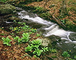 Small Waterfall on Tributary of Swift River in Spring with Marsh Marigolds and False Hellebore