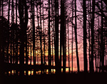 Sunrise and Fog through White Pines at Lake Dennison, Birch Hill Wildlife Management Area