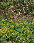 Marsh Marigold (Caltha palustris) and Hobblebush (Viburnam alnifolium) in Spring Bloom, Adirondack Park