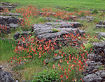 Wild Columbines (Aquilegia canadensis) Growing among Rock Formations in Field, Crown Point State Historic Site, Adirondack Park