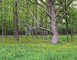 Dandelions and Old Oak Tree in Spring, Crown Point State Historic Site, Adirondack Park