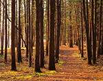 Path through White Pines in Early Morning Light, Birch Hill Wildlife Management Area