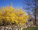 Forsythia in Bloom along Old Stonewall in Spring, Royalston, MA